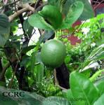Jeruk-Nipis
